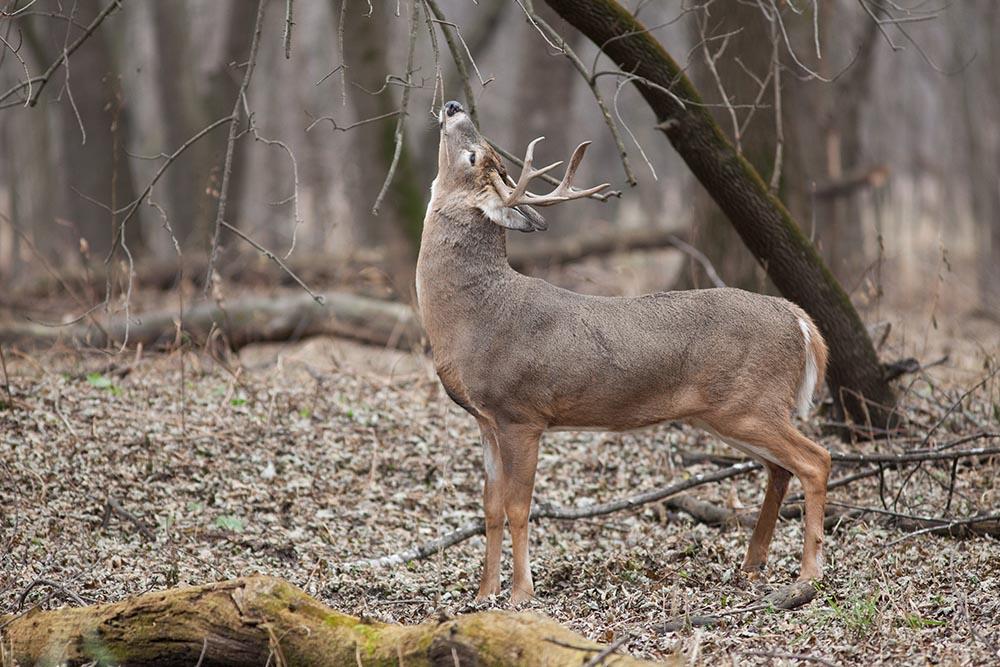 White-tailed Deer - Odocoileus virginianus - NatureWorks