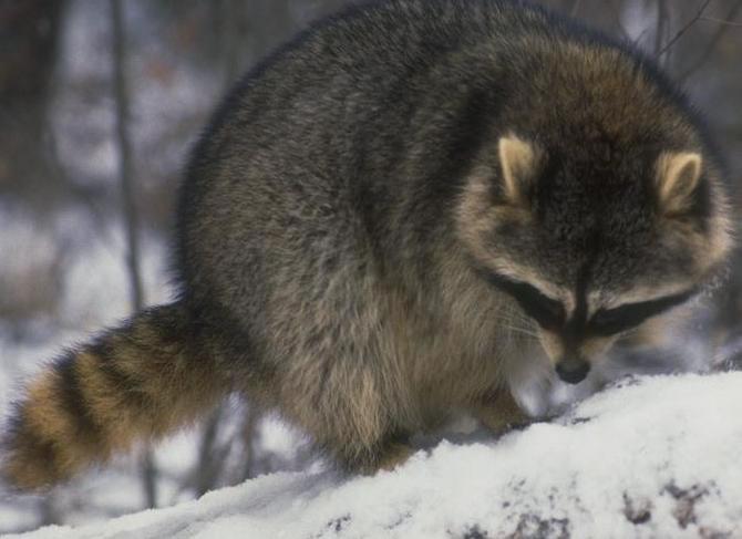 Raccoon - Procyon lotor - NatureWorks