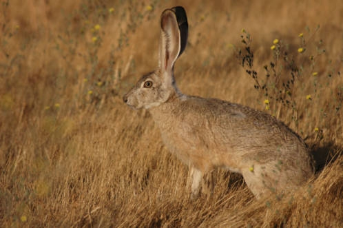 adaptations of a jack rabbit