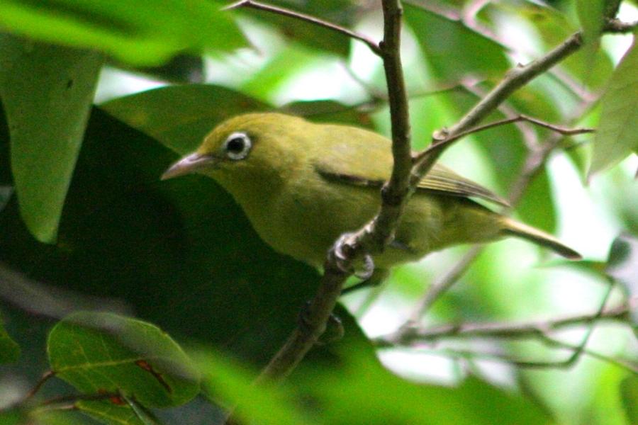 Zosteropidae - White-eyes | Wildlife Journal Junior