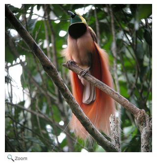 Paradisaeidae - birds of paradise   Wildlife Journal Junior
