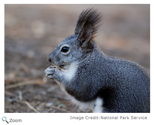 Abert's Squirrel