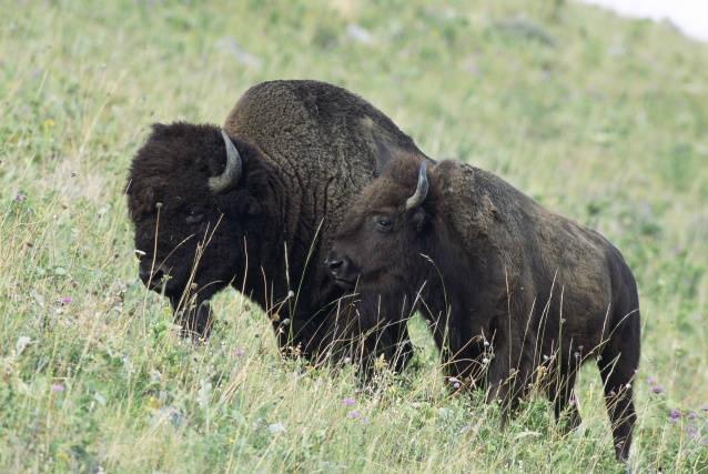 American Bison - Bison bison - NatureWorks