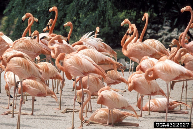 American Flamingo Flamingos Live In