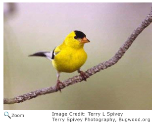 american goldfinch spinus tristis natureworks