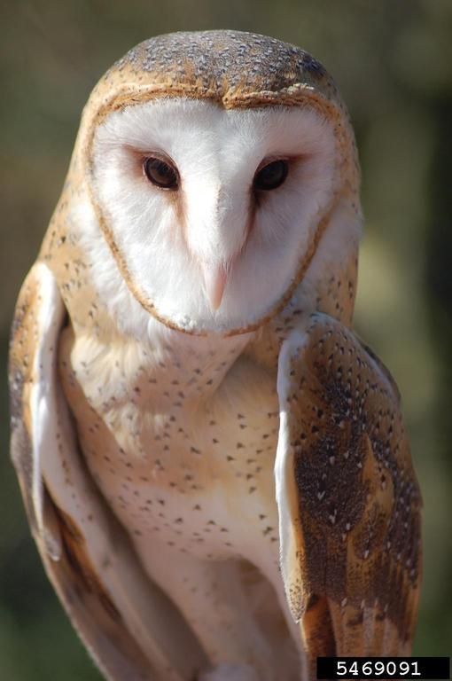 Barn Owl Tyto Alba Natureworks