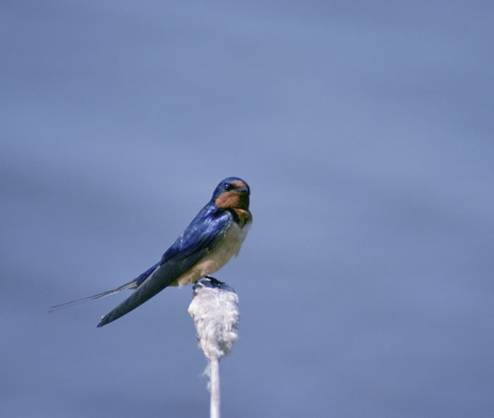Barn Swallow - Hirundo rustica - NatureWorks