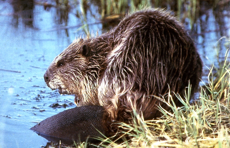 Young and fresh beavers the answer