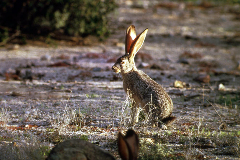 Jack Rabbit Usa >> Black Tailed Jackrabbit Lepus Californicus Natureworks
