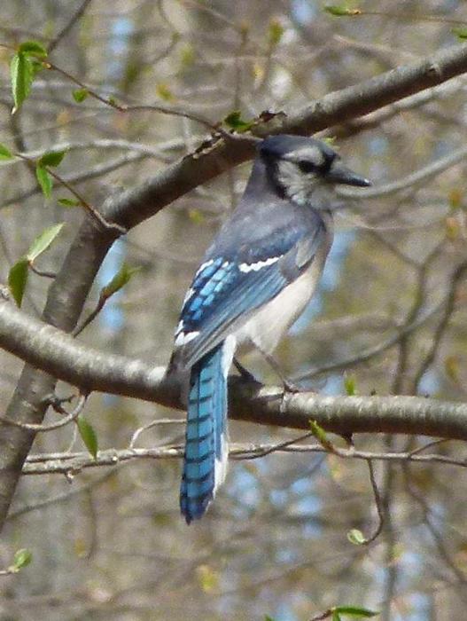 Blue Jay Cyanocitta Cristata Natureworks