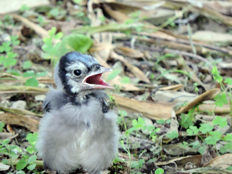 Show me a picture of a female blue jay — 1