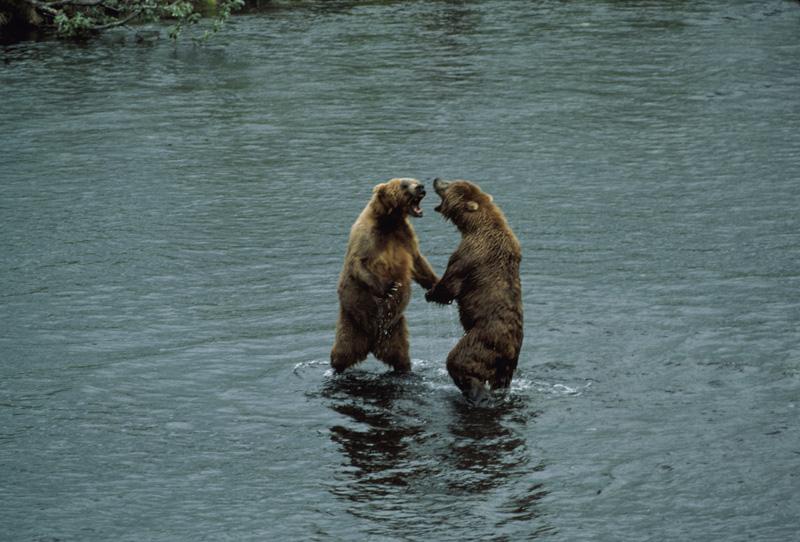 Brown Bear Ursus Arctos Natureworks
