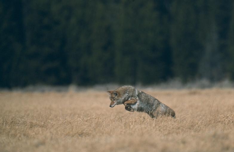 Coyote Canis Latrans Natureworks