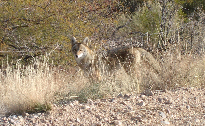 Coyote - Canis latrans - NatureWorks