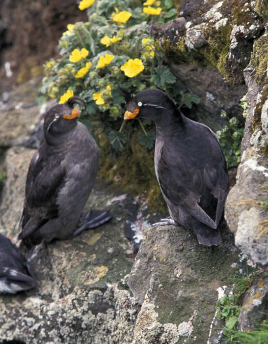Crested Auklet ...
