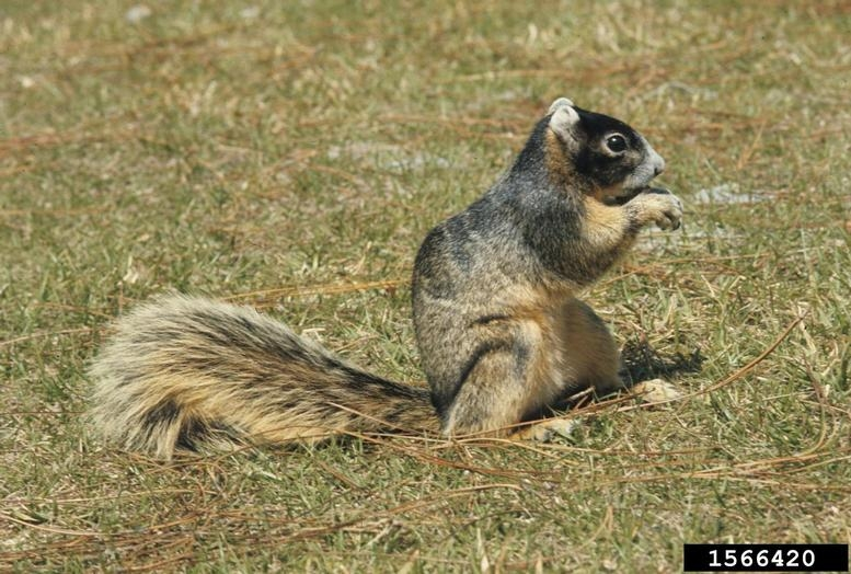 Fox Squirrel - Sciurus niger - NatureWorks