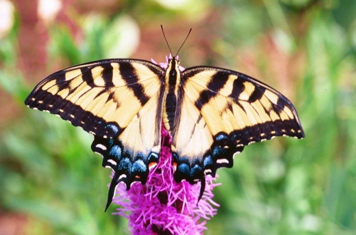 papilionidae swallowtail butterflies wildlife journal junior
