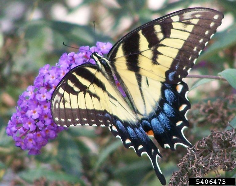 Eastern Tiger Swallowtail - Papilio glaucus - NatureWorks