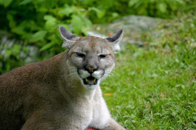 995921f4fdc Florida Panther - Puma concolor coryi - NatureWorks