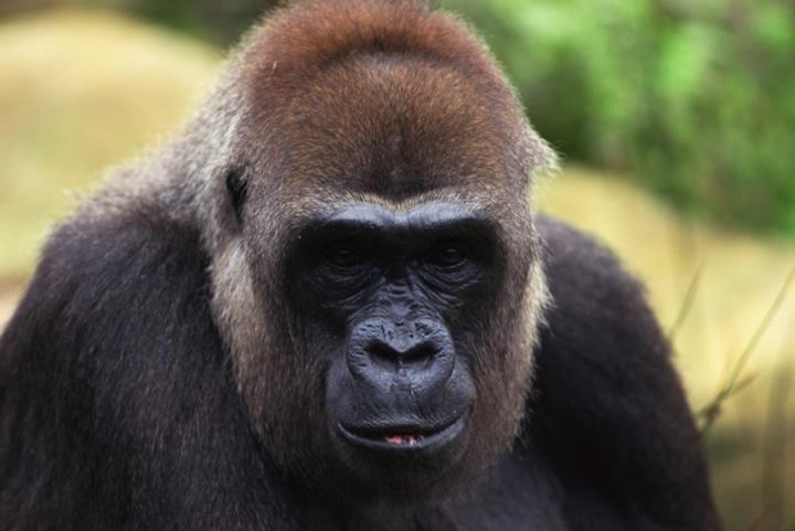 primates marmosets monkeys apes lemurs humans wildlife