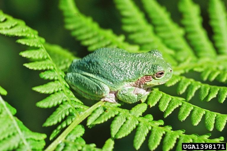 Gray Treefrog - Hyla versicolor | Wildlife Journal Junior