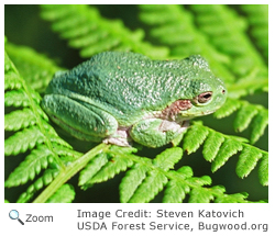 Gray Treefrog - Hyla versicolor - NatureWorks