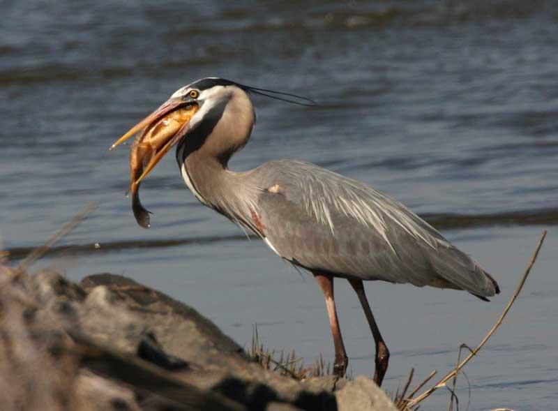 great blue heron ardea herodias natureworks