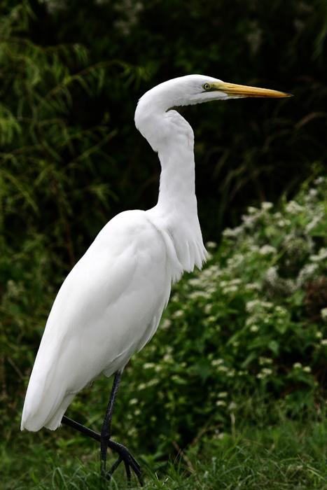 All About Birds Great Egret >> Great Egret Ardea Alba Natureworks