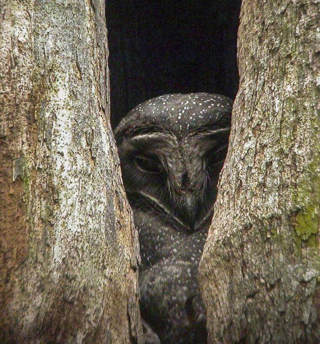 Tytonidae - barn owls | Wildlife Journal Junior - photo#39
