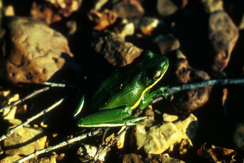 Green Treefrog - Hyla cinerea - NatureWorks
