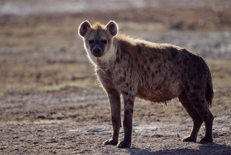 Image of: Wild Dog Hyena New Hampshire Pbs Hyaenidae Aardwolf Hyenas Wildlife Journal Junior