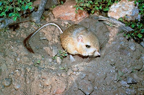 Heteromyidae Kangaroo Rats Pocket Mice Wildlife Journal Junior