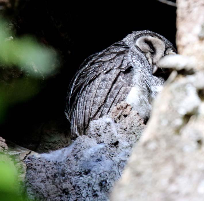 Tytonidae - barn owls | Wildlife Journal Junior - photo#22