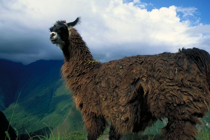 Camelidae - camels, llamas, alpacas, vicugnas   Wildlife