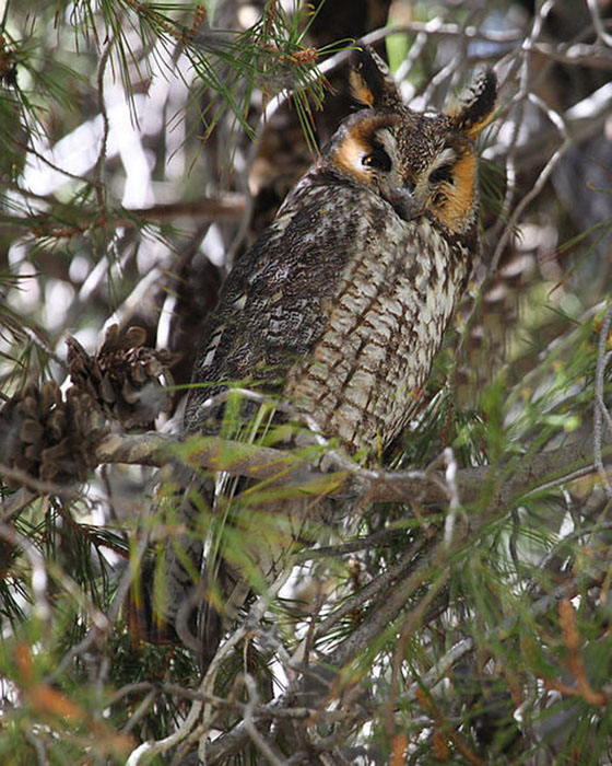 long eared owl asio otus wildlife journal junior