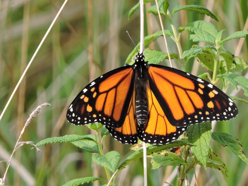 monarch butterfly danaus plexippus wildlife journal junior