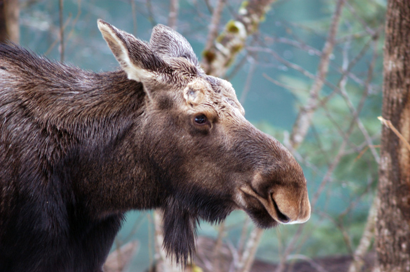 Moose Alces Americanus Natureworks