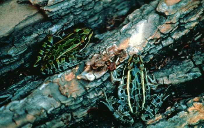 Northern leopard frog eating - photo#32