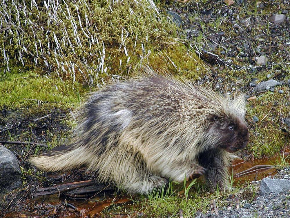 North American Porcupine - Erethizon dorsatum - NatureWorks