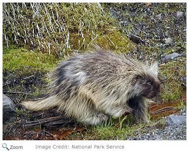 Torpid Snow Primates Found In Midwest >> North American Porcupine Erethizon Dorsatum Natureworks