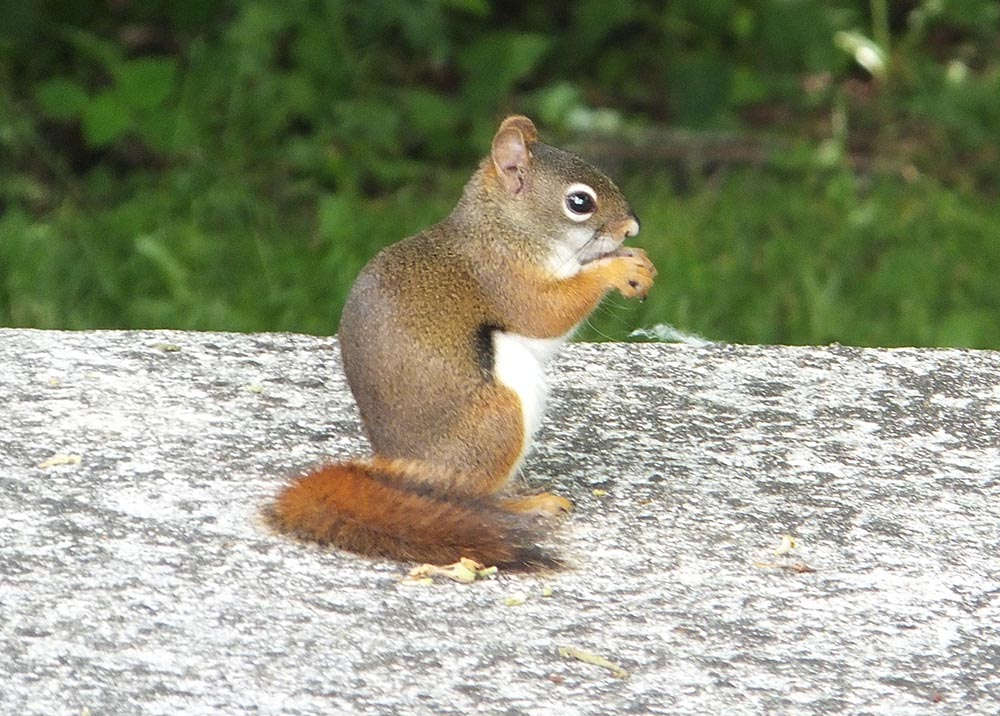 Red Squirrel - Tamiasciurus hudsonicus - NatureWorks