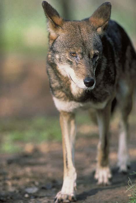 Red Wolf - Canis rufus | Wildlife Journal Junior
