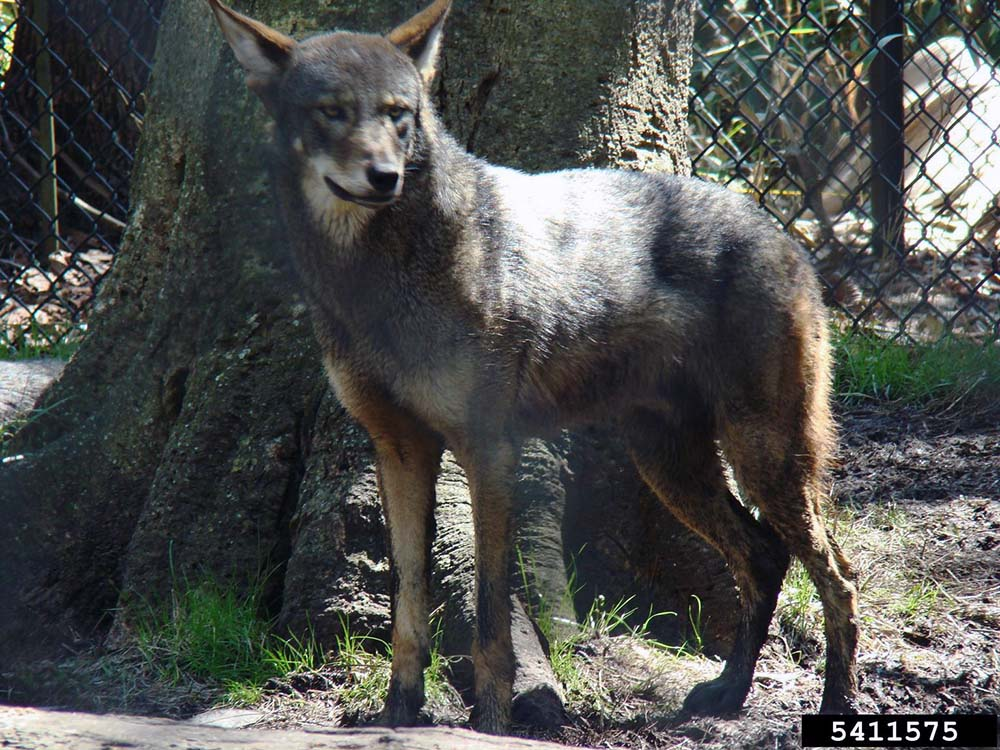 Red Wolf Canis Rufus Natureworks