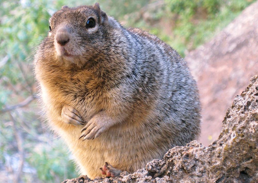 rock squirrel spermophilus variegatus natureworks