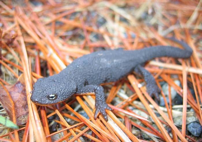 salamandridae newts true salamanders wildlife journal junior