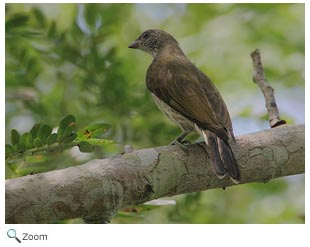 Scaly-throated Honeyguide