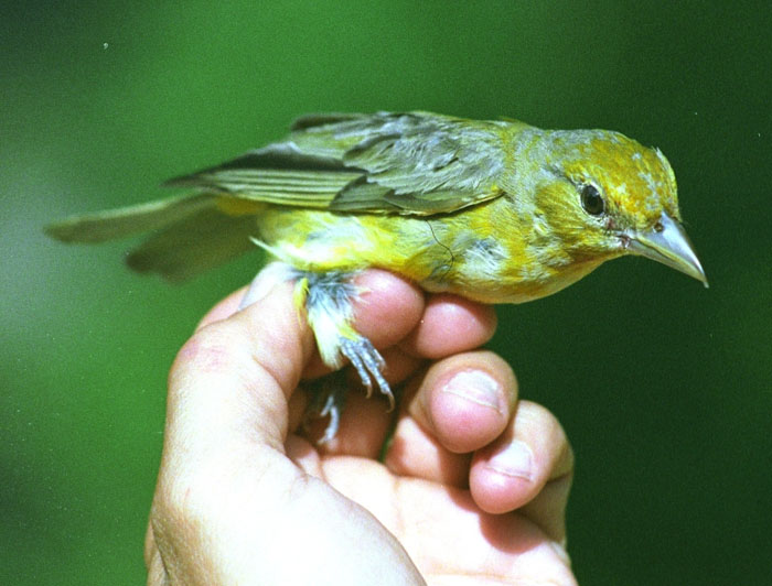 Image of: Tanager Female Scarlet Tanager Nhpbs Scarlet Tanager piranga Olivacea Wildlife Journal Junior