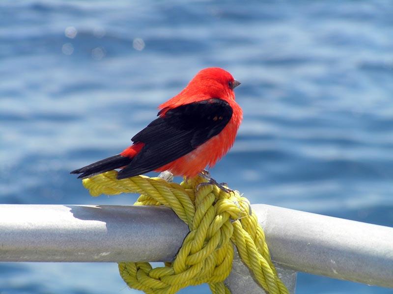 Image of: Missouri Scarlet Tanager Nhpbs Scarlet Tanager piranga Olivacea Wildlife Journal Junior