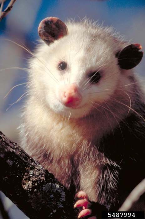 Virginia Opossum - Didelphis virginiana - NatureWorks