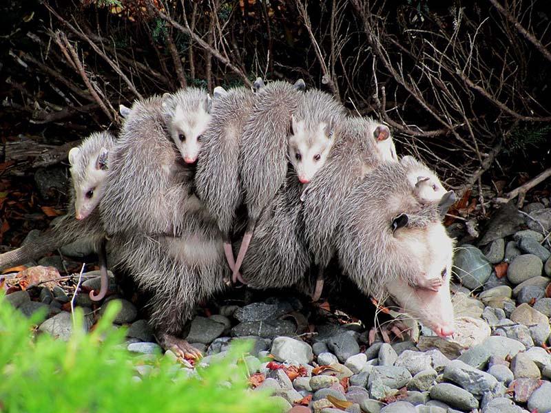 Virginia Opossum - Didelphis virginiana - NatureWorks